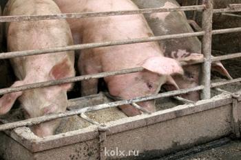 Уберечь свиней от африканской чумы - свиньи едят.jpg