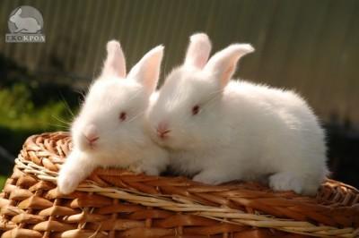 Ноу-Хау кролиководства – в Украине  - 2.JPG