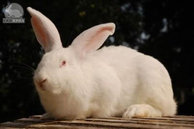 Ноу-Хау кролиководства – в Украине  - DSC_8338_EUPL.JPG