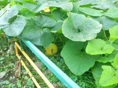 Из-под листьев выглядывает кабачок - IMG_20120905_101618.jpg
